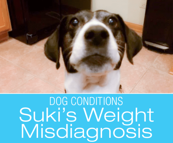 Canine Weight Gain Misdiagnosis: What Is Wrong with Suki?
