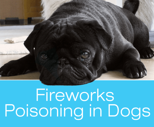 Fireworks Poisoning in Dogs: Zoe Dies after Chewing up Used Sparklers