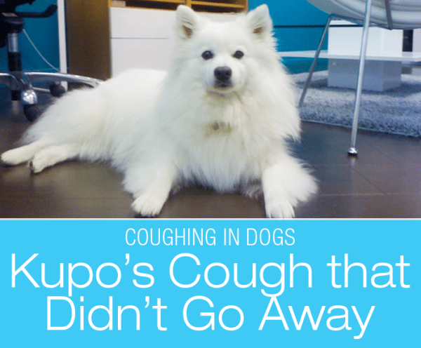 Unresolved Cough in Dogs: Kupo's Story of Cough that Didn't Go Away. What Would You Do if It Was Your Dog?