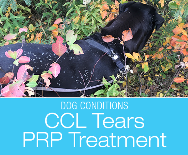 Evaluating PRP Treatment for Dogs: Platelet-Rich Plasma Treatment (PRP) for Partial Cranial Cruciate Ligament (CCL) Tears—Would I Do It Again?