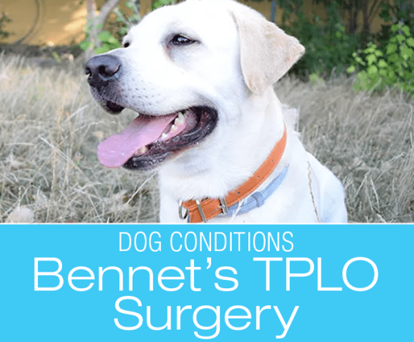 Bennett's TPLO Surgery: Bennet Ruptured His Cruciate Ligament