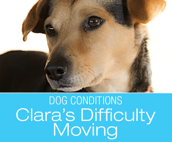Hind End Weakness in a Dog: Clara's Story