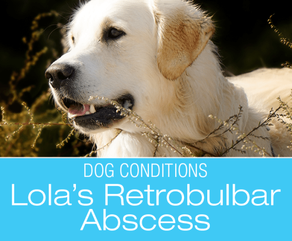 Abscess Behind the Eye in Dogs: Lola's Price for Chewing on Rose Bushes