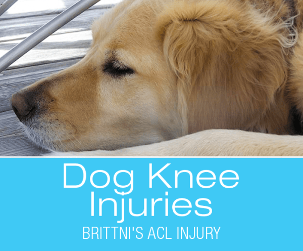 Ccl Injury In Golden Retriever Brittni S Acl Ccl Injury