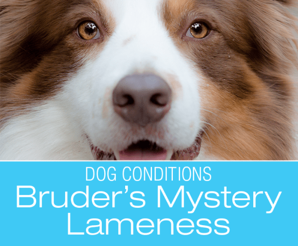 Limping Border Collie: What Caused Bruder's Lameness?