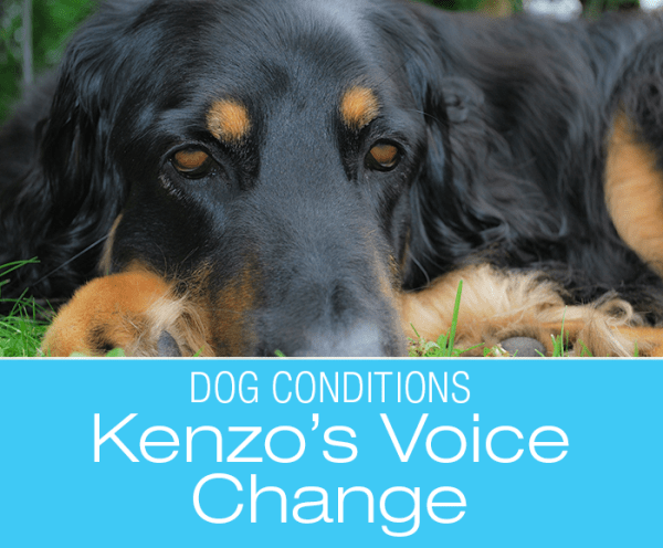 Voice Change In Dogs: Kenzo's Story. What Would You Do if It Was Your Dog?