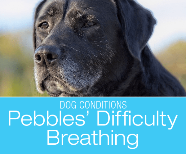 Breathing Problems in a Dog: Pebbles' Laryngeal Paralysis
