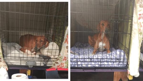 144th Westminster Dog Show: West African Sighthound Azawakh