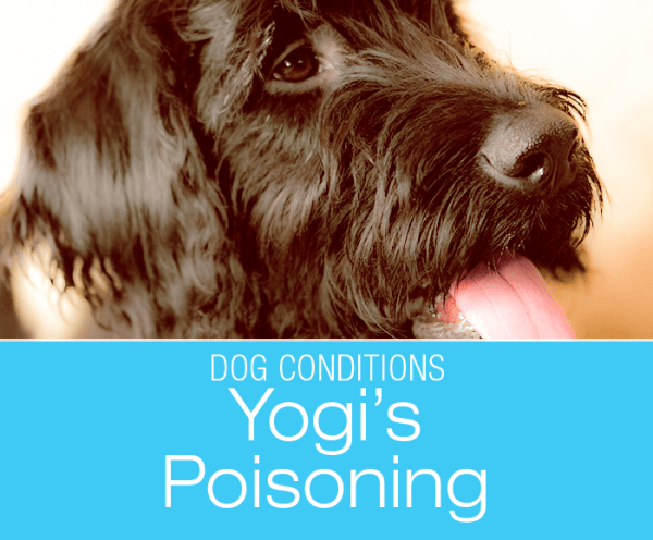 Barbiturate Poisoning in a Dog: Yogi's Sudden Collapse