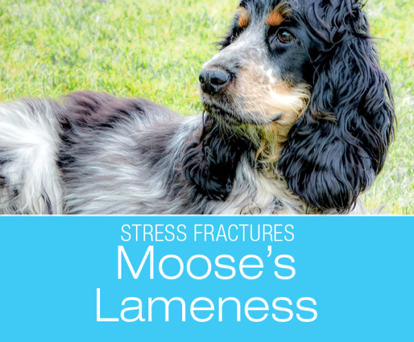 Stress Fracture in a Dog: Moose, the Cocker Spaniel suffered a stress fracture in his front leg