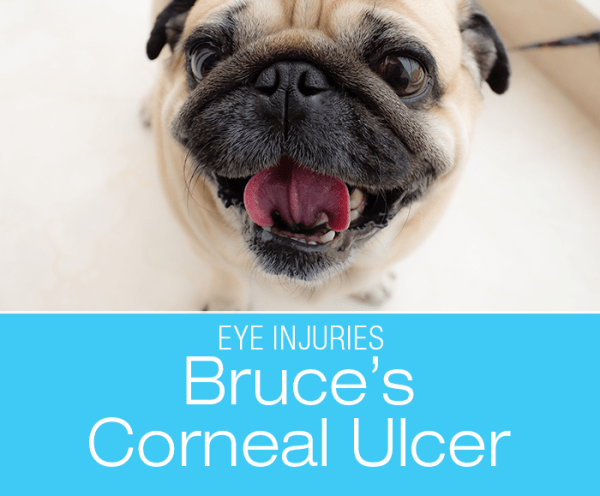 Corneal Ulcer in a Pug: Bruce's Eye Injury: The large, bulging eyes in the brachycephalic breeds look adorable but it makes them susceptible to injury.