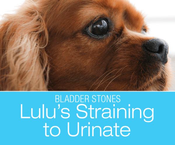 Canine Bladder Stones: Lulu's Straining to Urinate