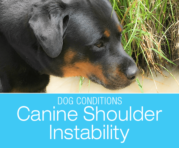 Shoulder Injuries in Dogs: Is Cookie Suffering From Medial Shoulder Syndrome (MSS) or Instability (MSI)?