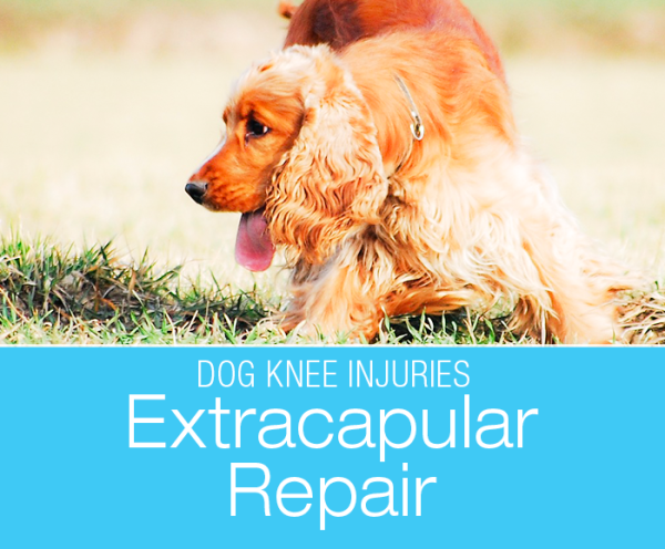 Dog CCL Injuries Extracapsular Repair