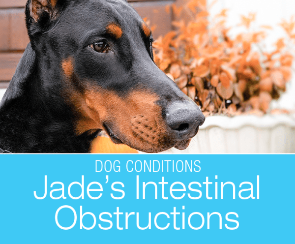 Canine Intestinal Foreign Body: Jade's Almost Deadly Snack