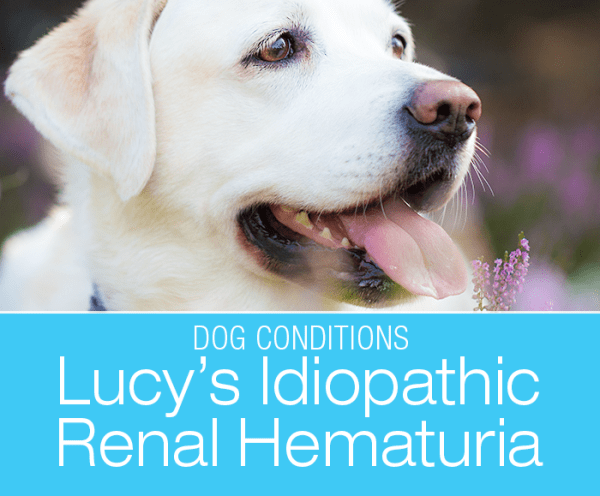 Canine Idiopathic Renal Hematuria: Sclerotherapy—Lucy's Unique Life-Saving Procedure