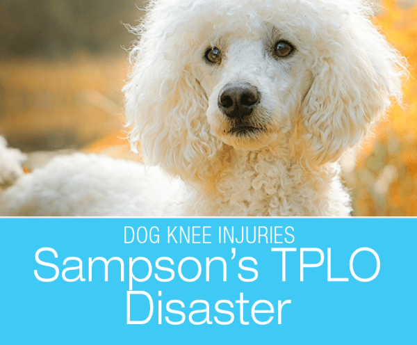 TPLO Post-Op Disaster: Sampson Destroys His TPLO Repair. Sometimes your dog might surprise you with what they manage to inflict on themselves.