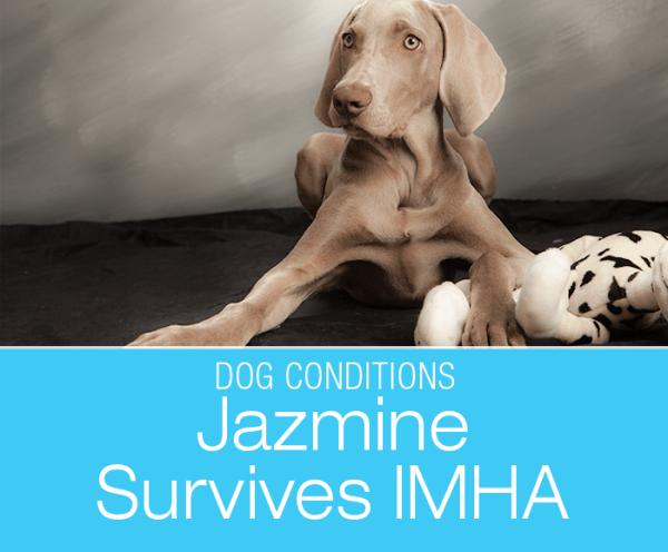 Surviving IMHA: Jazmine's Immune-Mediated Hemolytic Anemia