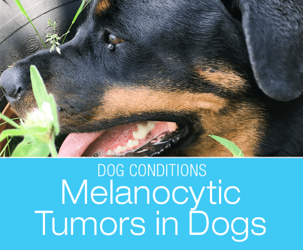 Melanocytoma in a Dog: Cookie's Eyelid Bump that Was Not a Cyst