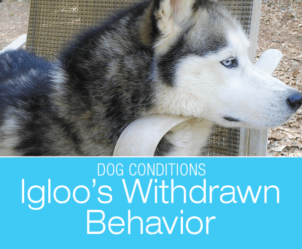 Sudden Withdrawn Behavior in a Dog: Igloo's Change in Behavior and Hiding