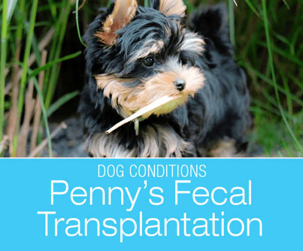 Dog Fecal Transplantation: Solution for Penny's Chronic Diarrhea and Weight Loss