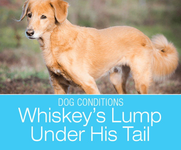 A Dog Has a Lump under the Tail: What Was Whiskey's Large Swelling?