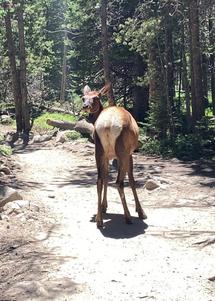 Deer on the trail at Rocky Mountain National Park