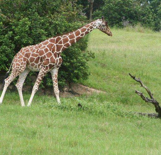 Giraffe, Disney's Animal Kingdom, Kilimanjaro Safaris