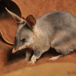 http://perthzoo.wa.gov.au/animals-plants/australia/nocturnal-house/bilby/