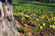 These are osage oranges below their tree near an entrance to the park, on Druid Park Lake Drive
