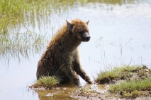 Confused little hyena.