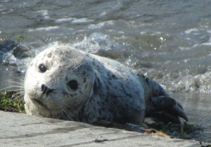 A baby seal enjoys the sun at Olympic Beach in 2011.