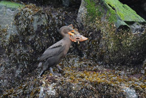 Cormorant with a huge meal.