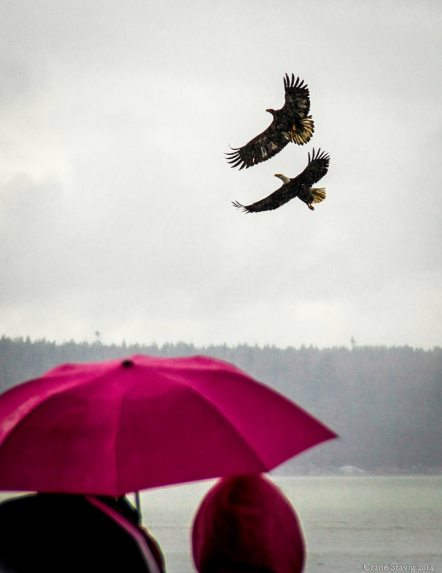 """From Crane Stavig: """"It's an Edmonds kind of day when rain and eagles fall from the sky."""""""
