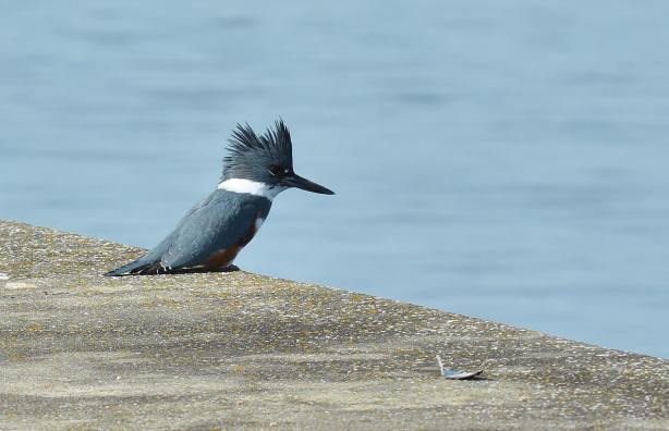 From Dan Palmer, a kingfisher on the north seawall of the Edmonds Marina Monday.