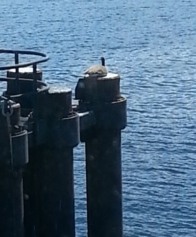 "Dan Thulin relates that he and wife were on the Edmonds ferry Wednesday when they saw this unusual sight. ""As you know, the Canadian geese are very big birds, they take a lot room to land,"" Thulin said. ""They are not known for their vertical landing.  I cannot figure how this big bird landed on this little pier piling."""