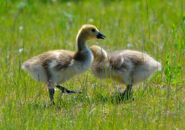 From Dan Palmer, Canada geese chicks on Union oil property Tuesday.