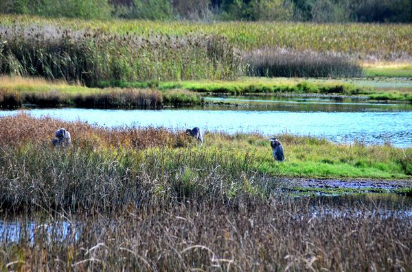 Originally an estuary, the Edmonds Marsh provided shelter, food and breeding areas for a host of birds, animals, marine and aquatic life.  While much reduced in size and changed due to many years of filling and being blocked off from intrusion of seawater, the Marsh still remains Edmonds' premier natural area.