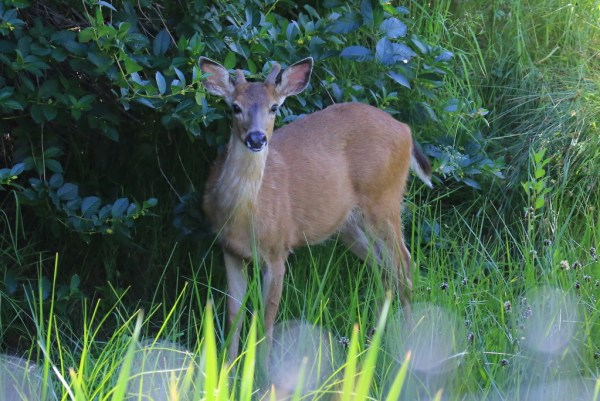 "From Bill Anderson: ""Saturday (6/6) my son and I finally got good photos of one of the Pt. Edwards deer.   We caught glimpses of one in August of last year and had heard reliable reports that this year there were as many as four or five in the area."