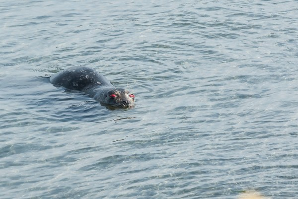 The seal appeared to have eye injuries.