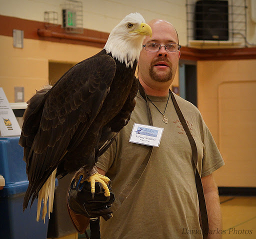 "Here's an American bald eagle. They get their name from the old English word, ""Balde,"" which meant ""white-headed."" If bald eagles can read, they can read a newspaper three football fields away."