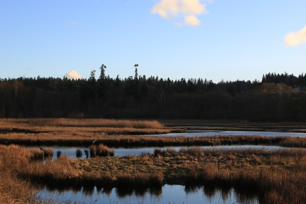 Some photos taken near sunset at the Edmonds marsh last Friday. I thought they might cheer your readers up while we wait for the weather to clear. I counted seventeen herons at the marsh as the tide was too high for them to be on the beach.