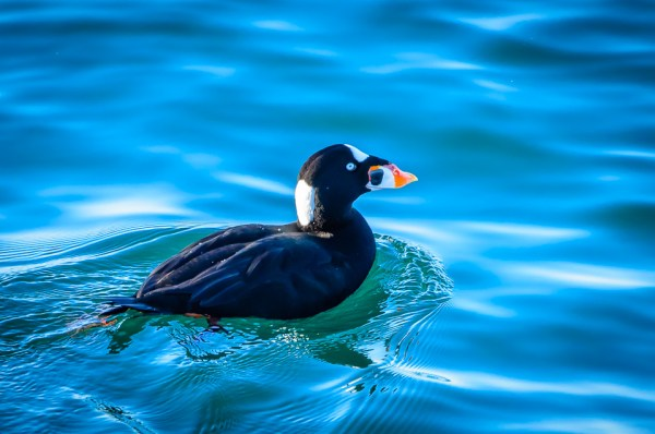 Surf Scoter on the Edmonds waterfront.