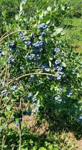 U-pick blueberries at Red Ranch Berry Farm.