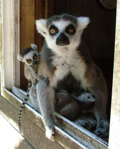 A variety of animals can be viewed, including lemurs.