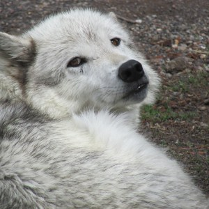 A white wolf at Yellowstone. (Photo by Wendy Kendall)