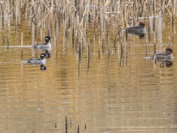 Buffleheads and mergansers