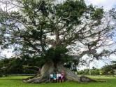 300 year old Cieba tree