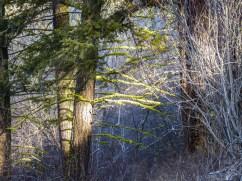 Sunshine through the forest highlights the lichen