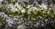 Serviceberry in full bloom!